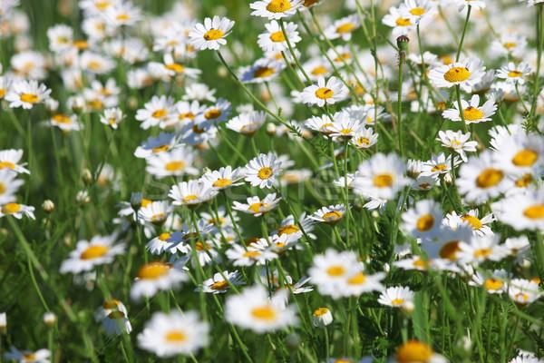 ромашка Полевые цветы весны сезон природы Сток-фото © goce