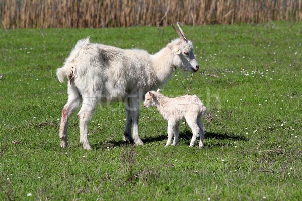 Né peu chèvre Kid jeunes blanche Photo stock © goce