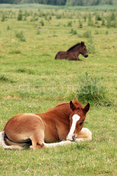 two foals lying on pasture Stock photo © goce