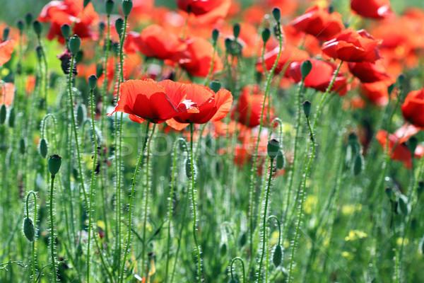 red poppy flowers spring season Stock photo © goce