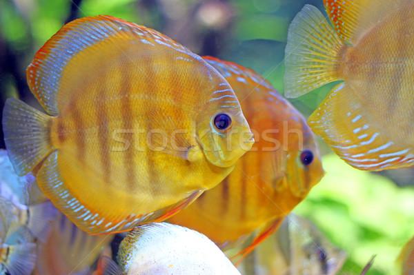 tropic fish swimming underwater close up Stock photo © goce