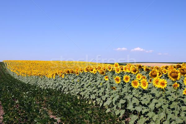 Napraforgó szójabab mező nyár évszak égbolt Stock fotó © goce
