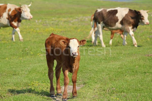 коричневый коров пастбище корова фермы цвета Сток-фото © goce