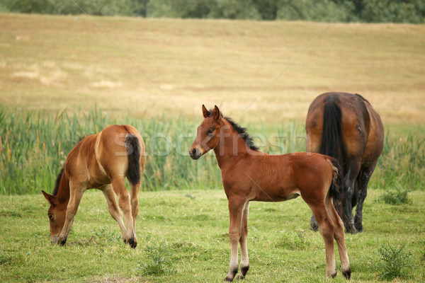 foal and horses on pasture Stock photo © goce