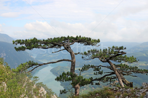 Pine trees on mountain nature Stock photo © goce