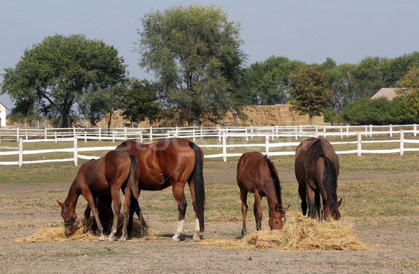 horses and foals eat hay on farm Stock photo © goce