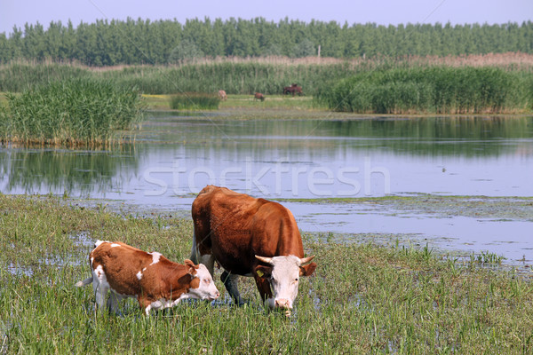cow and calf on pasture  Stock photo © goce