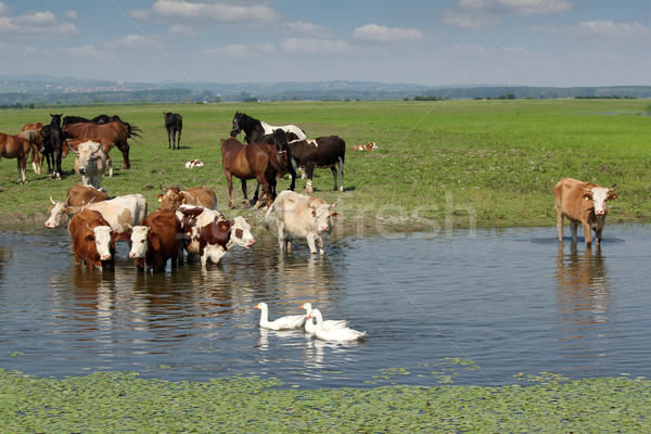 https://img3.stockfresh.com/files/g/goce/m/28/1326495_stock-photo-cows-horses-and-geese.jpg