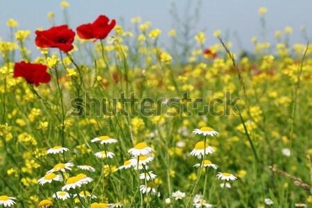 Pipacs citromsárga vad virágok tavasz jelenet virág Stock fotó © goce