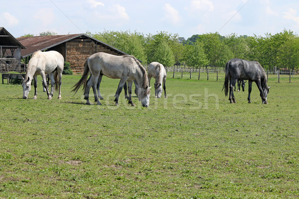 herd of horses on farm Stock photo © goce