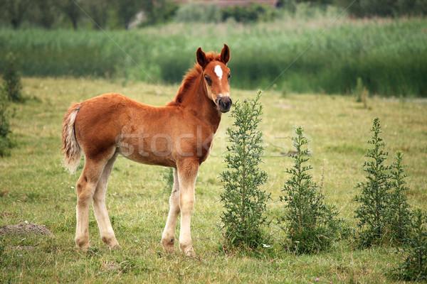 Stock photo: horse foal on pasture