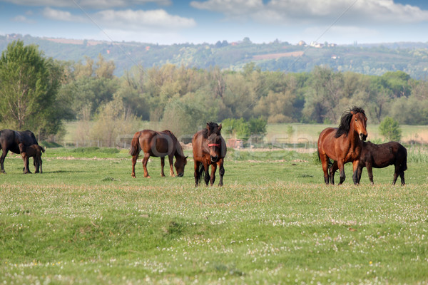 Rebanho cavalos campo natureza cavalo verão Foto stock © goce