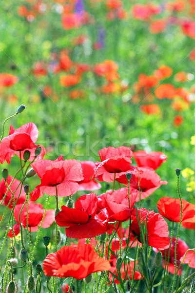 Vermelho primavera temporada flor Foto stock © goce