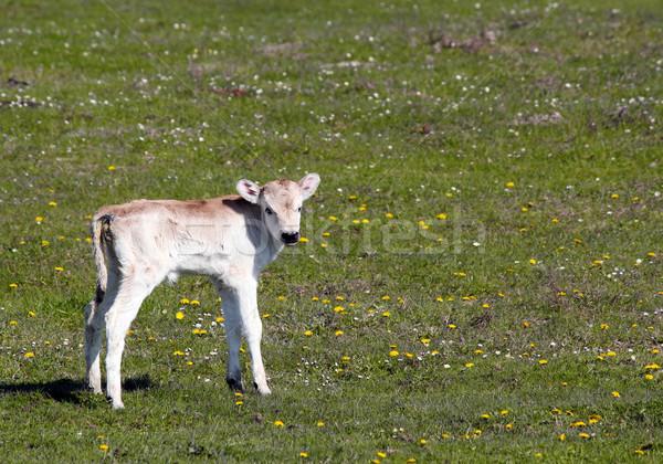 cute newborn calf on pasture Stock photo © goce