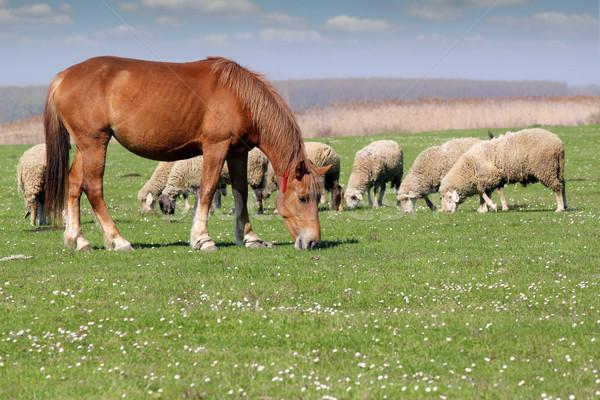 farm animals horse and sheep Stock photo © goce