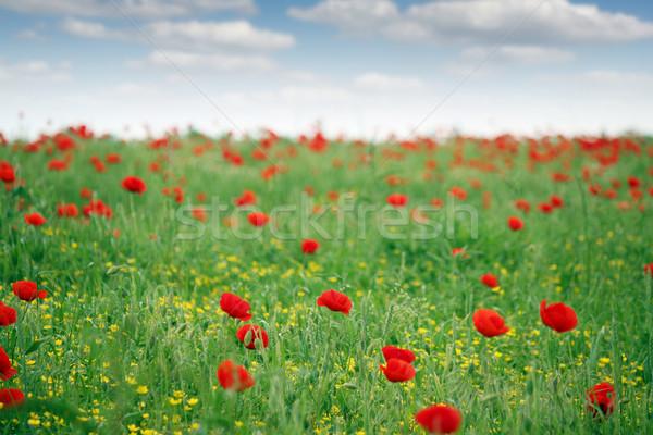 Rouge pavot champ de fleurs printemps saison ciel Photo stock © goce