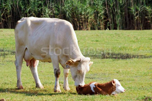 Tehén született farm szín vidék törődés Stock fotó © goce
