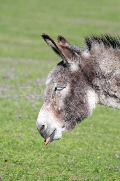 funny donkey puts out a tongue portrait  Stock photo © goce