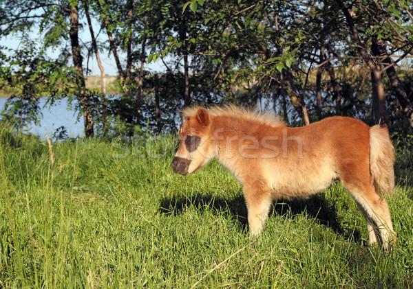 cute brown pony horse foal Stock photo © goce