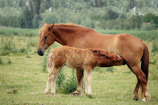 mare and foal breastfeeding in the field Stock photo © goce