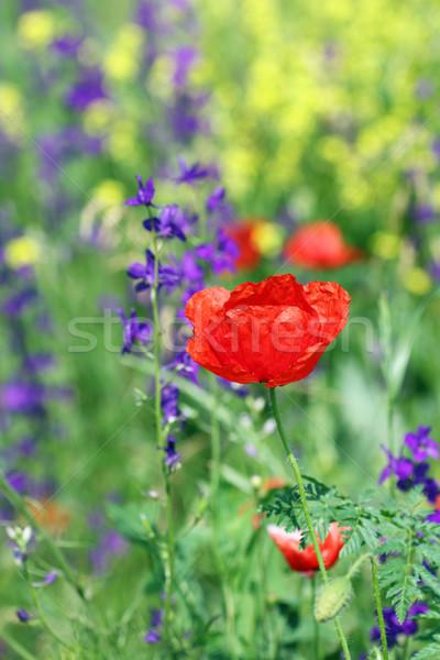 Kırmızı haşhaş çiçek bahar sezon yaz Stok fotoğraf © goce