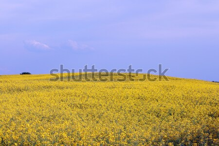 oilseed rape field landscape summer season Stock photo © goce