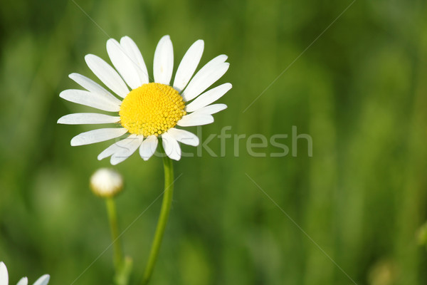 Fehér vadvirág tavasz jelenet természet nyár Stock fotó © goce