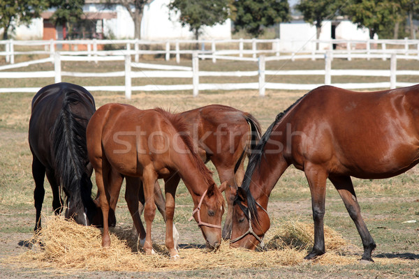 herd of horses ranch scene Stock photo © goce