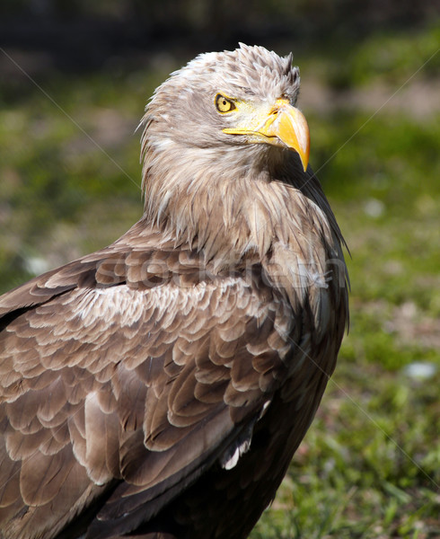 European white tiled eagle portrait Stock photo © goce