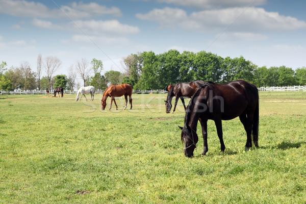 herd of horses grazing ranch scene Stock photo © goce