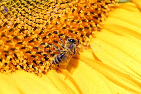 Stockfoto: Bee · zonnebloem · zomer · seizoen · natuur · hoofd
