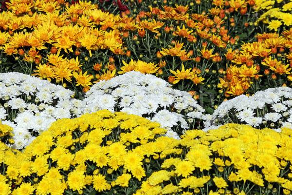 Geel witte chrysant bloem achtergrond Stockfoto © goce