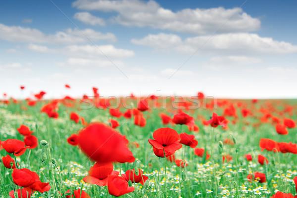 Rouge pavot champ de fleurs paysage nature été Photo stock © goce