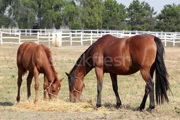 horse and foal eat hay ranch scene Stock photo © goce