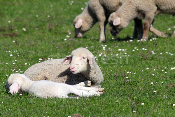 lambs and sheep on pasture Stock photo © goce