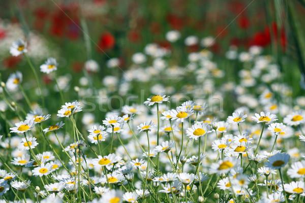 chamomile flower field spring season Stock photo © goce