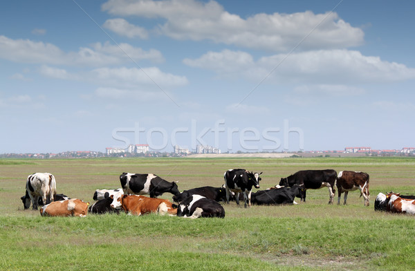 herd of cows on pasture with city in background Stock photo © goce
