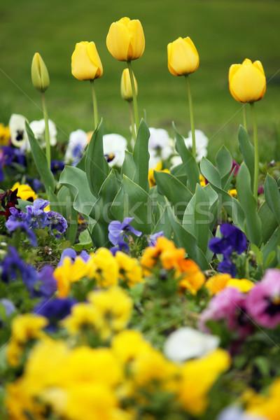 Jaune tulipe jardin de fleurs printemps saison nature Photo stock © goce