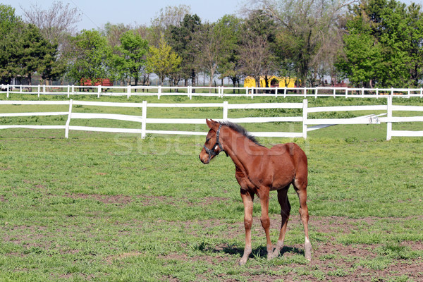 brown foal in corral farm scene Stock photo © goce