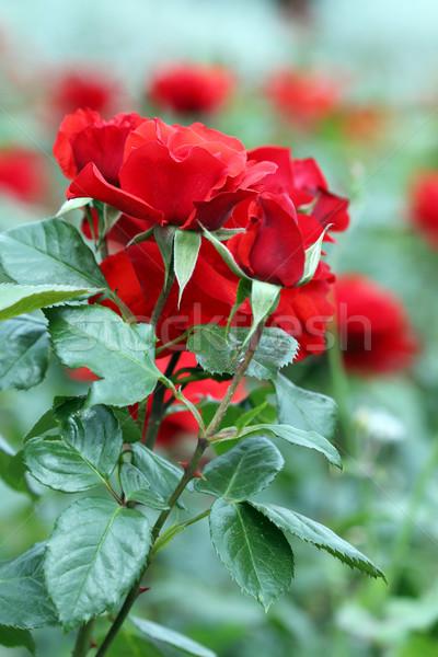 red roses flower garden spring season Stock photo © goce
