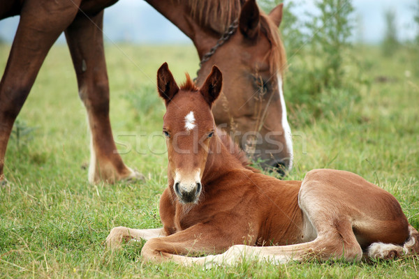 foal and horse on pasture Stock photo © goce