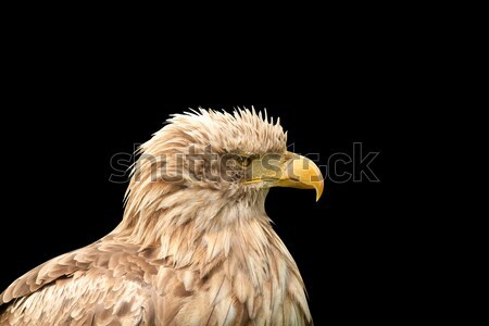 European white tailed eagle isolated on black Stock photo © goce