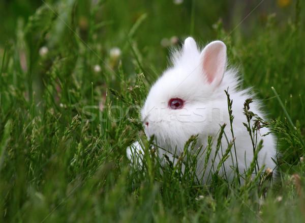 Cüce beyaz tavşan bahar bebek tavşan Stok fotoğraf © goce