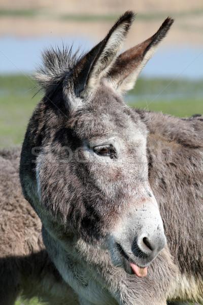 donkey puts out a tongue portrait  Stock photo © goce