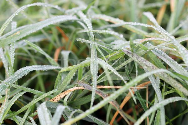 Ochtend dauw druppels gras natuur abstract Stockfoto © goce