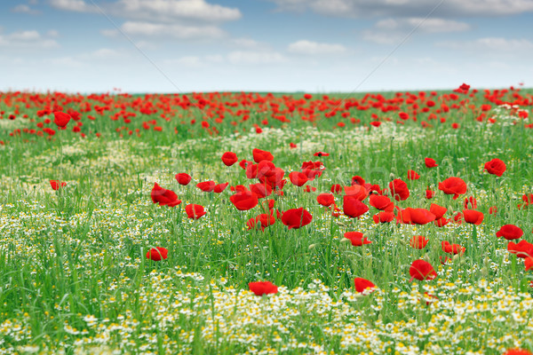 Flores silvestres prado paisagem primavera natureza verão Foto stock © goce