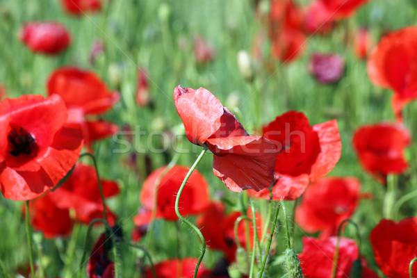poppy flower nature wildflowers spring season Stock photo © goce