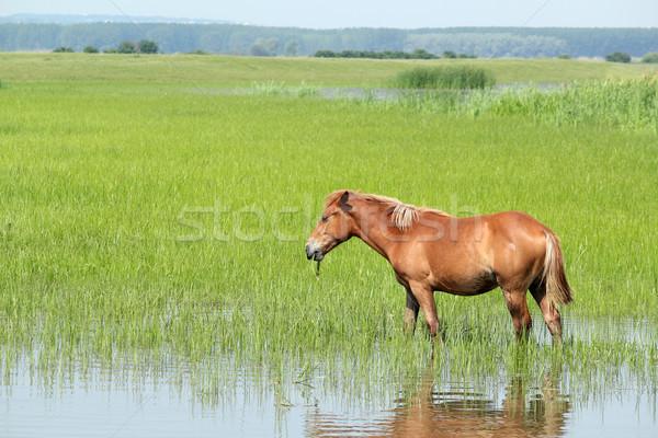 brown horse in pasture farm scene Stock photo © goce