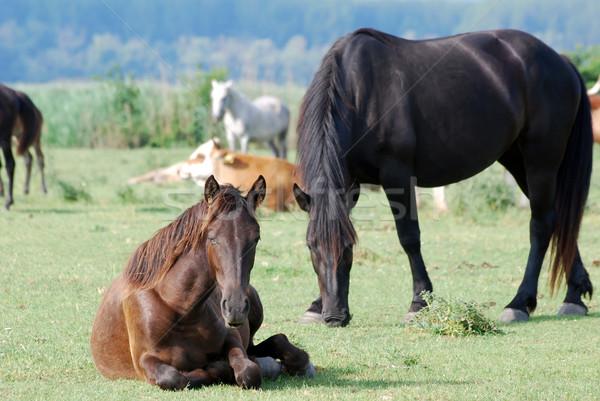 Bruin paard natuur boerderij zwarte Stockfoto © goce
