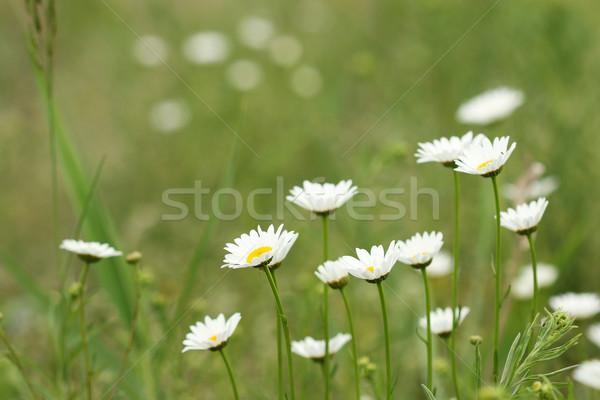 Fehér százszorszép virág tavasz évszak háttér Stock fotó © goce